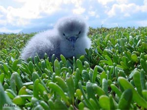 shearwater chick out of its burrow